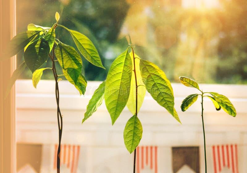 Brotes del aguacate Almácigos jovenes de los árboles del aguacate en potes en travesaño de la ventana Planta casera verde Diferen fotos de archivo libres de regalías
