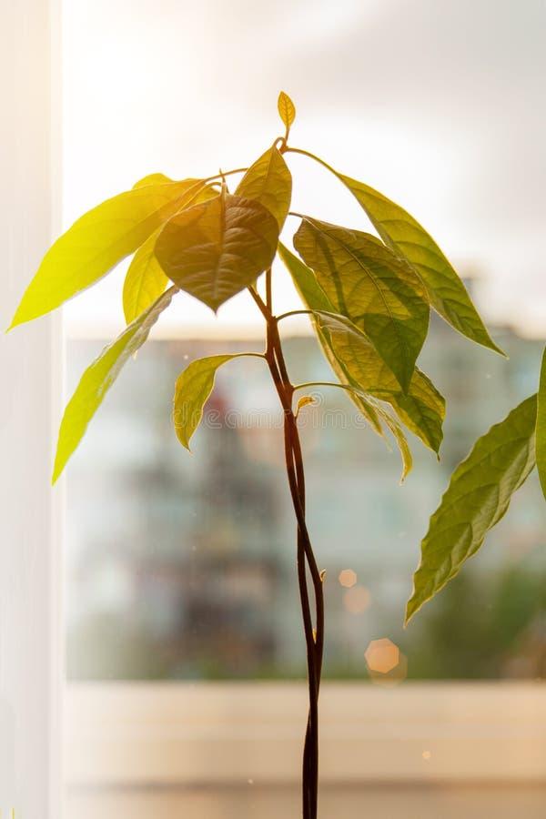 Brotes del aguacate Almácigos jovenes de los árboles del aguacate en potes en travesaño de la ventana Planta casera verde Diferen fotos de archivo