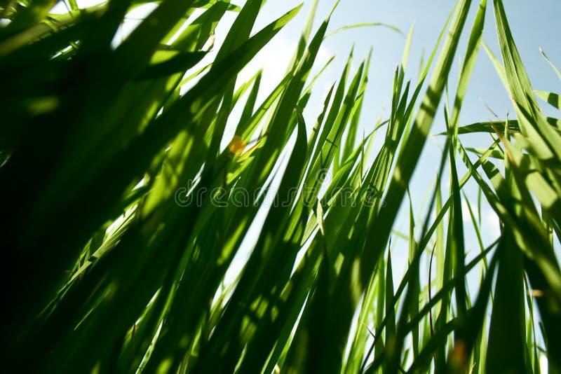 Brotes del arroz fotos de archivo