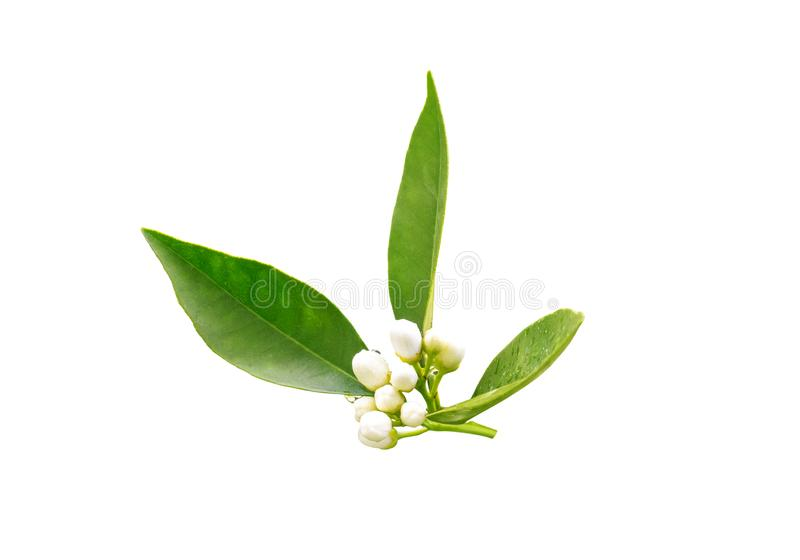 Brotes del neroli del ?rbol anaranjado despu?s de la lluvia de primavera aislada en blanco Flor de Azahar fotos de archivo libres de regalías