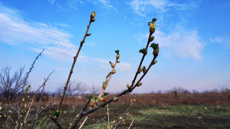 Brotes del verde de la primavera contra el cielo azul y las nubes blancas fotografía de archivo libre de regalías