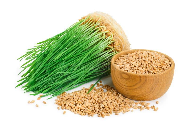 Brotes del verde del trigo, semillas del trigo en el cuenco de madera aislado en el fondo blanco fotografía de archivo libre de regalías