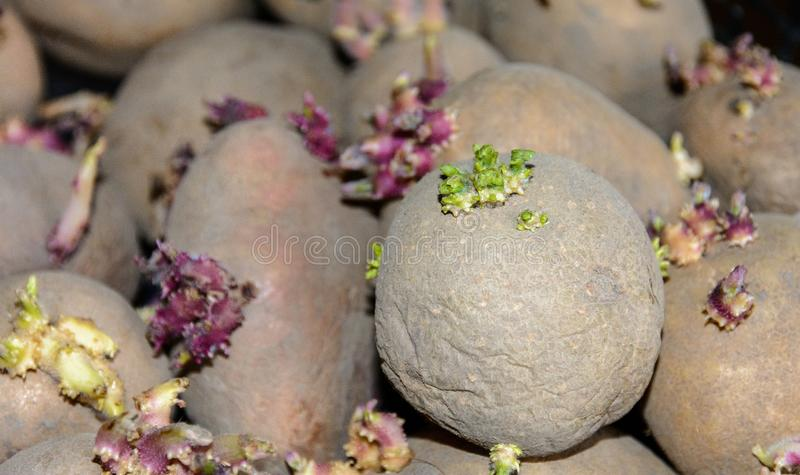 Brotes en los tubérculos de la patata Tubérculos brotados de la patata para plantar en la tierra Tubérculos de la patata del brot foto de archivo libre de regalías