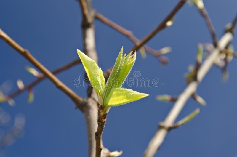 Brotes en un árbol en la primavera imagen de archivo