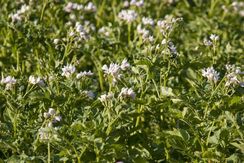 Brotes en un jardín en un jardín orgánico, nuevas patatas, floreciendo, patata de la patata que madura fotos de archivo