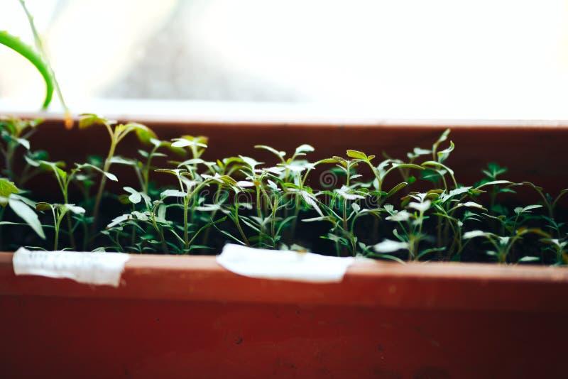 Brotes jovenes del alm?cigo del tomate en los potes plasic en travesa?o de la ventana Concepto que cultiva un huerto fotos de archivo libres de regalías