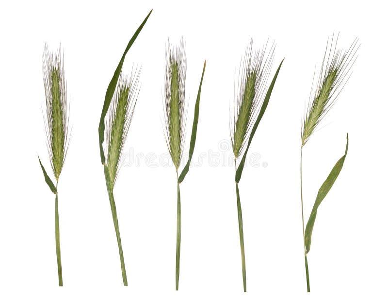 Brotes jovenes del trigo aislados en el fondo blanco Herbario de las espiguillas fotos de archivo libres de regalías