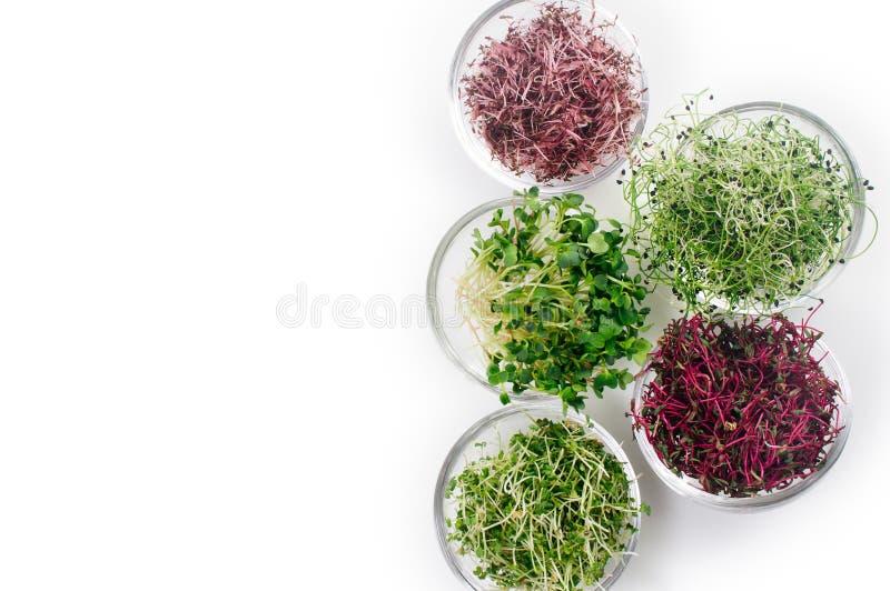 Brotes micro de los verdes del rábano, del amaranto, de la mostaza, de remolachas y de la cebolla en el fondo blanco con el espac imágenes de archivo libres de regalías
