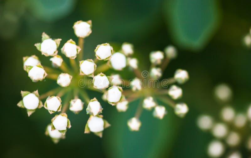 Brotes minúsculos de las flores blancas del Spiraea imagen de archivo