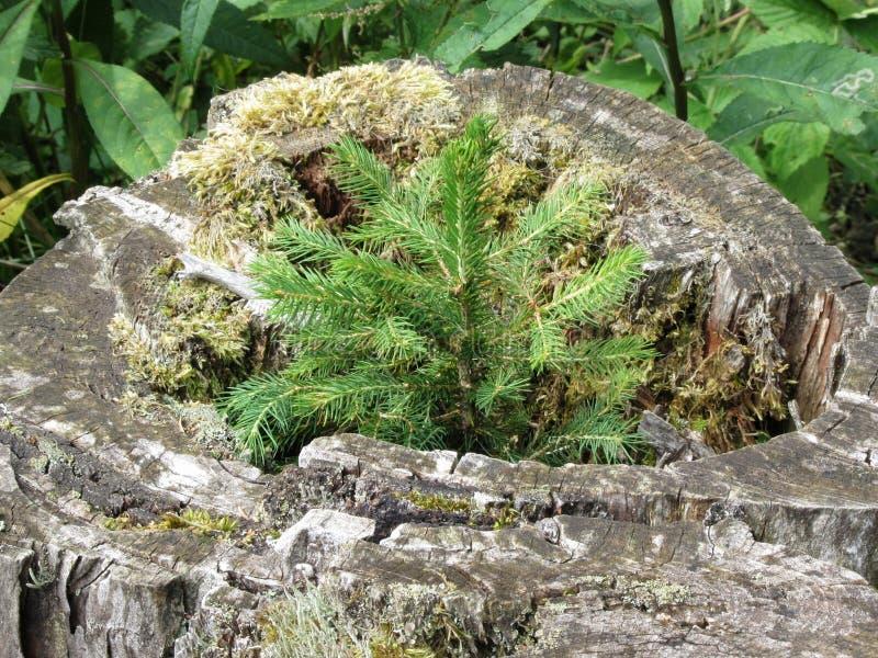 Brotes minúsculos del árbol joven del tocón viejo, gris de un árbol grande que fue reducido Crecimiento joven del árbol de abeto imágenes de archivo libres de regalías