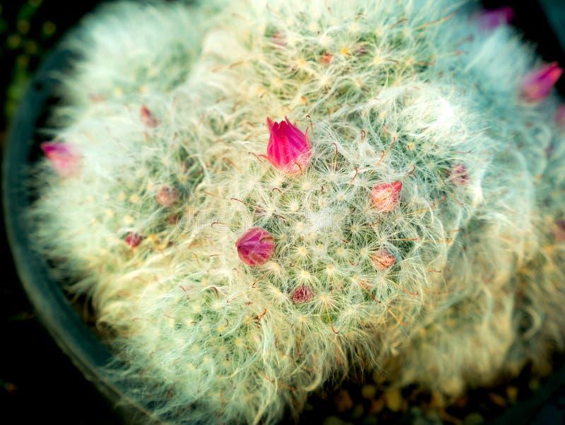 Brotes rosados que crecen en cactus del pelo blanco imagen de archivo