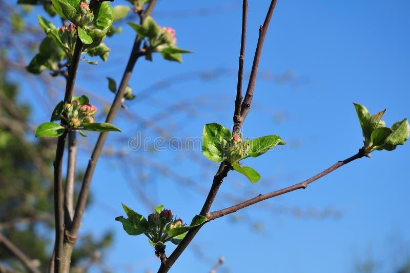 Brotes rosados y hojas verdes frescas en un manzano fotografía de archivo
