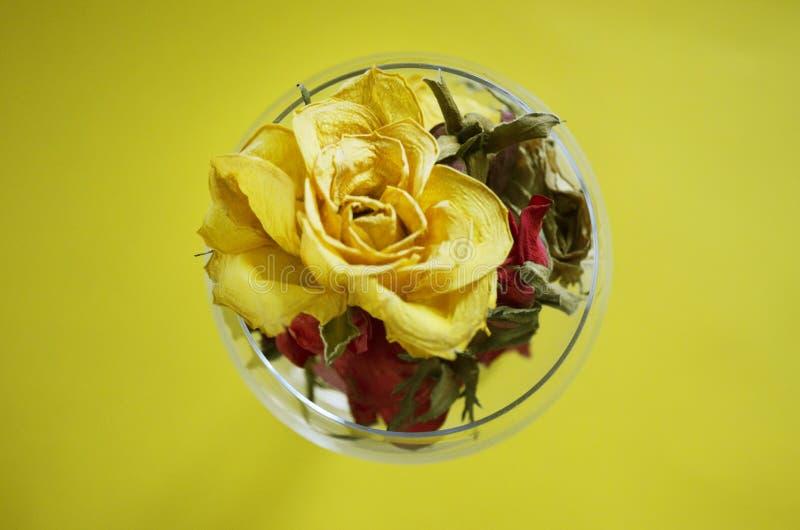 Brotes secados de la rosa del amarillo en vidrio imagen de archivo libre de regalías