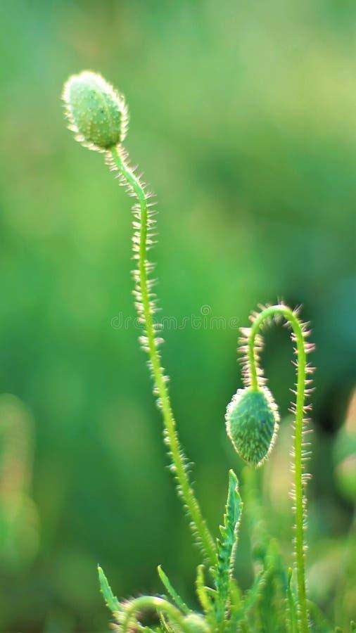 Brotes verdes de amapolas en un fondo verde imagen de archivo