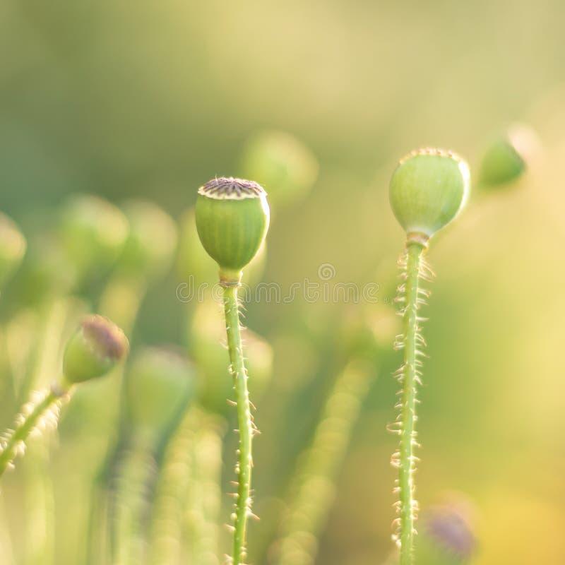 Brotes verdes de amapolas en un fondo verde foto de archivo libre de regalías