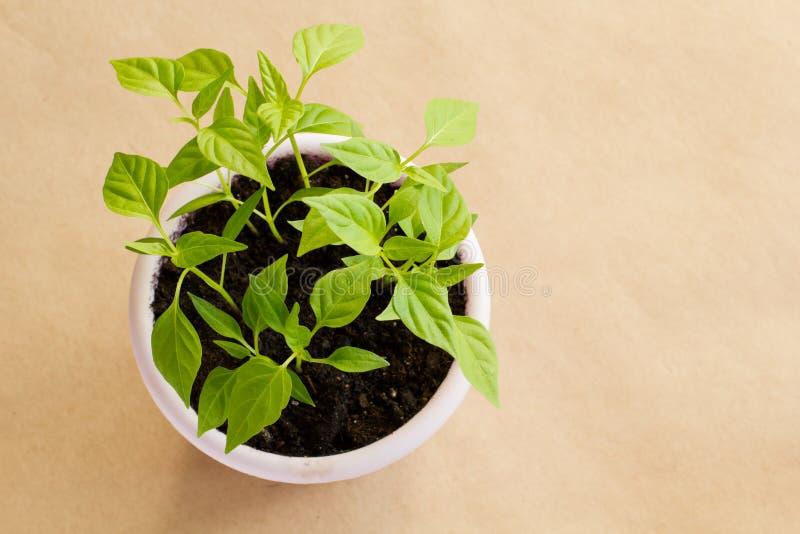 Brotes verdes de la pimienta vietnamita caliente en un pote púrpura en un fondo marrón del arte, concepto que cultiva un huerto C imágenes de archivo libres de regalías