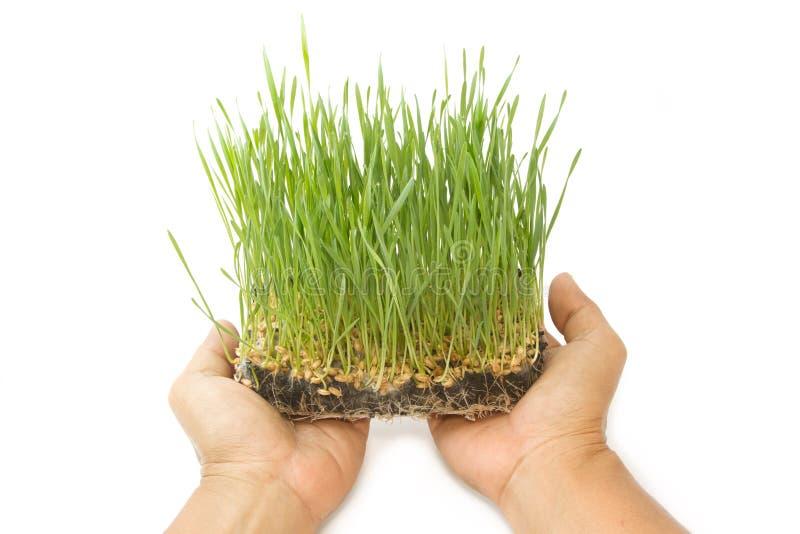 Brotes verdes del trigo en las manos del hombre imágenes de archivo libres de regalías