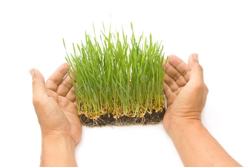 Brotes verdes del trigo en las manos del hombre imagen de archivo libre de regalías
