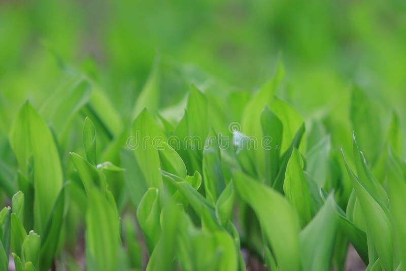 Brotes verdes frescos foto de archivo