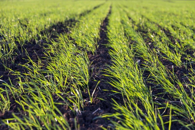 Brotes verdes jovenes de la planta del trigo en un campo imagen de archivo