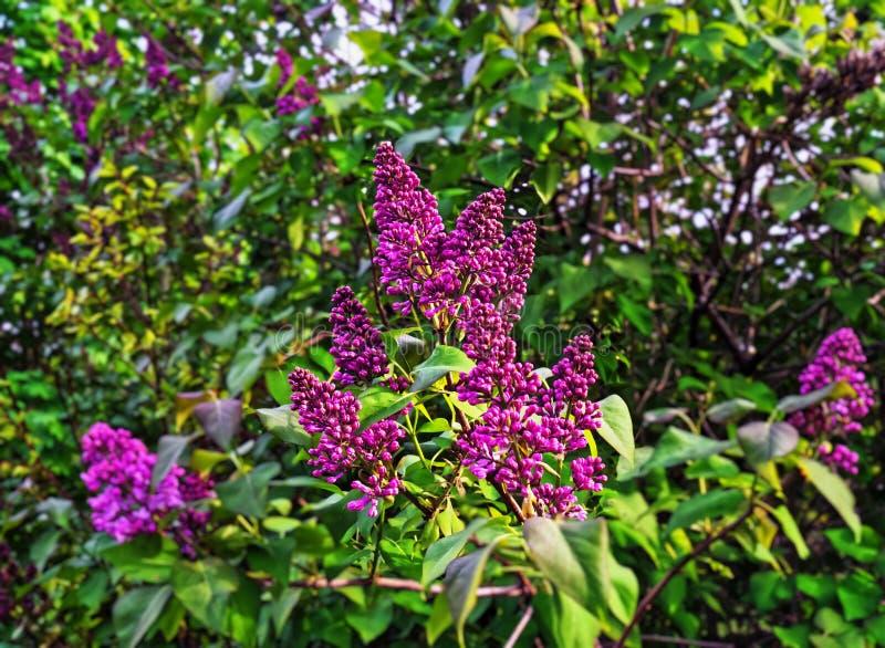 Brotes y flores de la lila imagenes de archivo