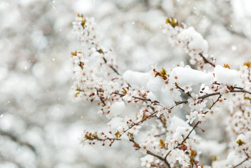 Brotes y flores de la primavera cubiertos en nieve imágenes de archivo libres de regalías
