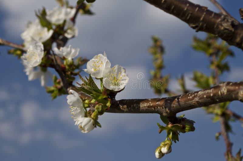 Brotes y flores en un árbol en la primavera fotografía de archivo libre de regalías