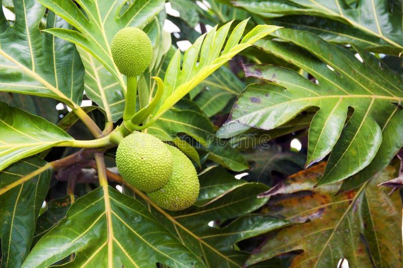 Brotfrüchte auf dem Baum lizenzfreies stockfoto