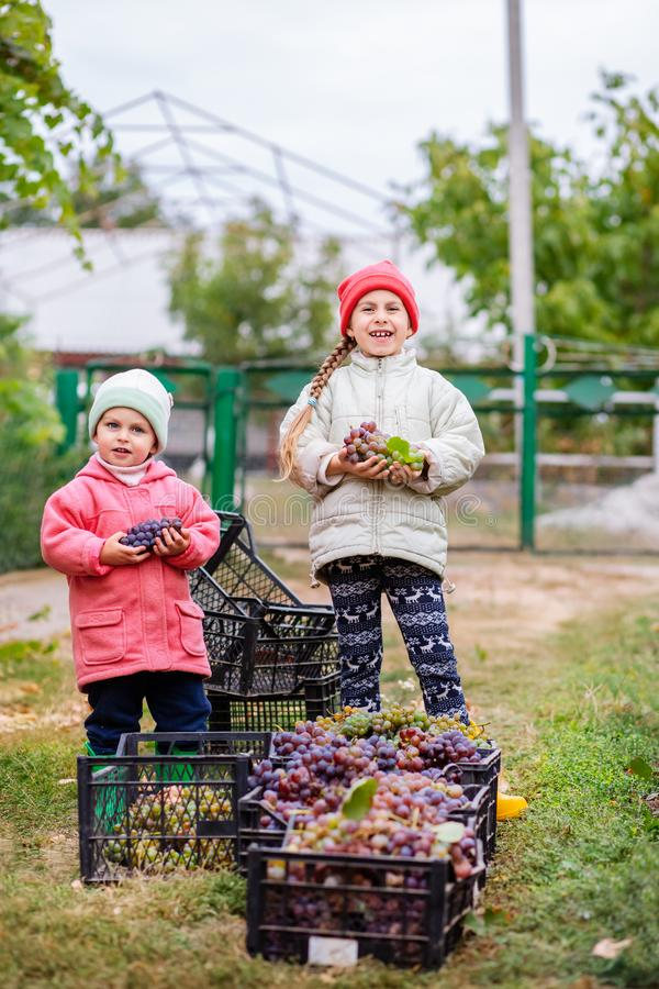Brother and sister with grapes in their hands in the garden. Autumn harvest on the farm, children tear grapes and put in a box. Growing organic fruits on the stock photo