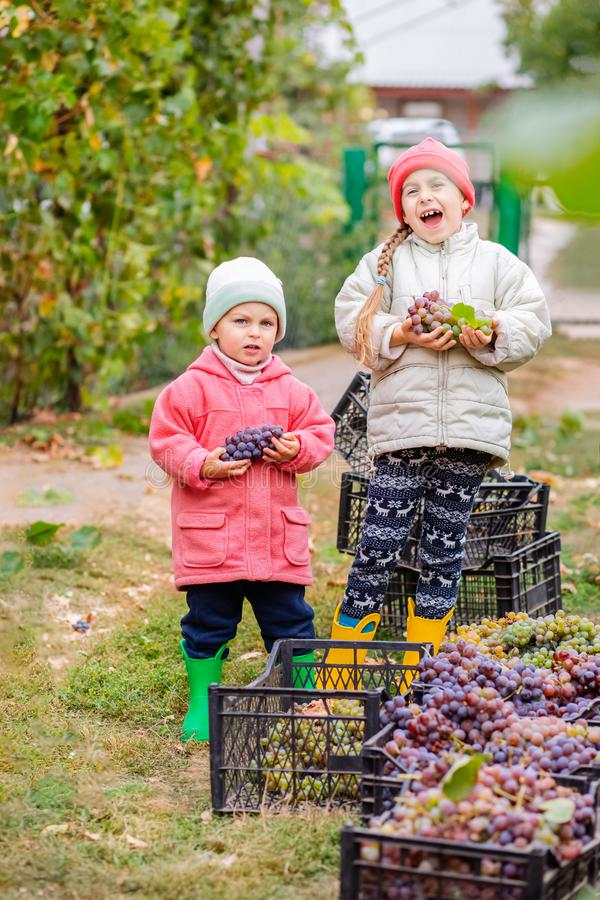 Brother and sister with grapes in their hands in the garden. Autumn harvest on the farm, children tear grapes and put in a box. Growing organic fruits on the royalty free stock photos