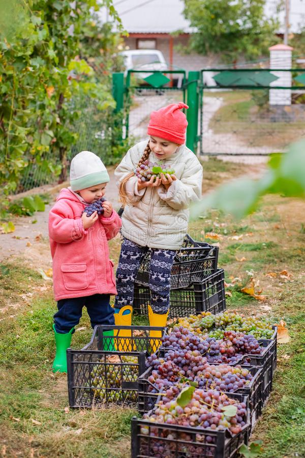 Brother and sister with grapes in their hands in the garden. Autumn harvest on the farm, children tear grapes and put in a box. Growing organic fruits on the stock photography