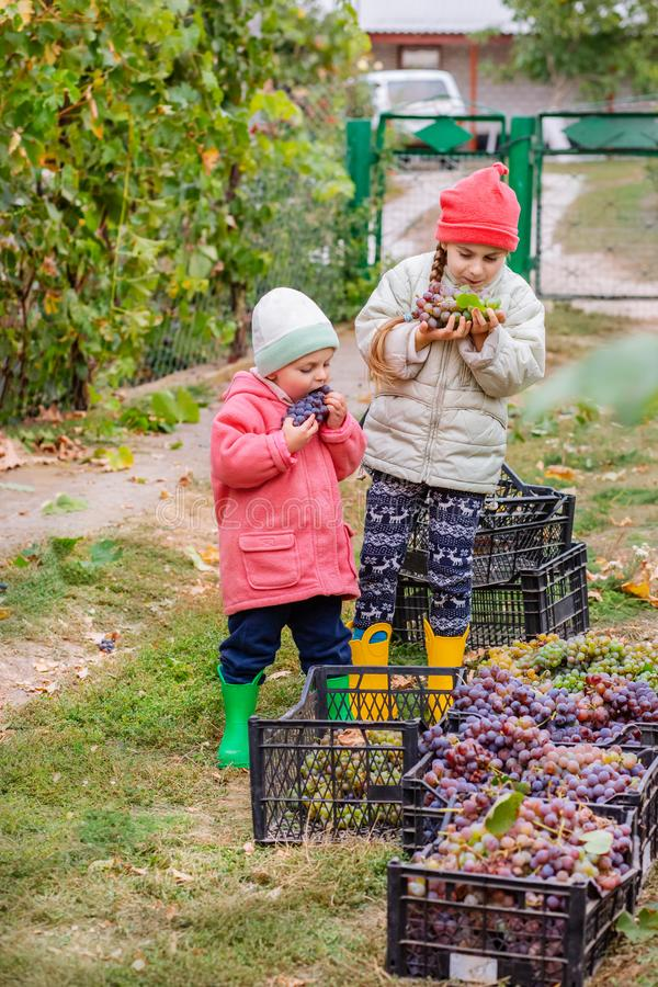 Brother and sister with grapes in their hands in the garden. Autumn harvest on the farm, children tear grapes and put in a box. Growing organic fruits on the royalty free stock photo