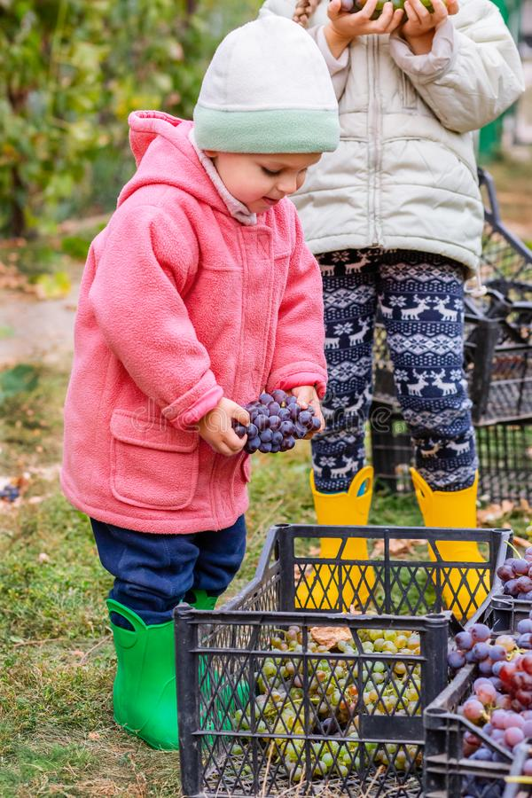 Brother and sister with grapes in their hands in the garden. Autumn harvest on the farm, children tear grapes and put in a box. Growing organic fruits on the stock image
