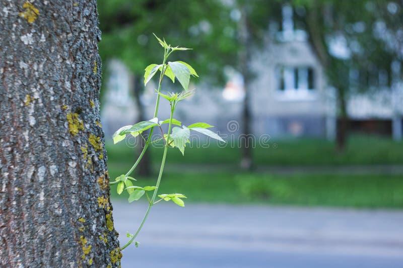 Broto com folhas verdes em um tronco de árvore fotos de stock