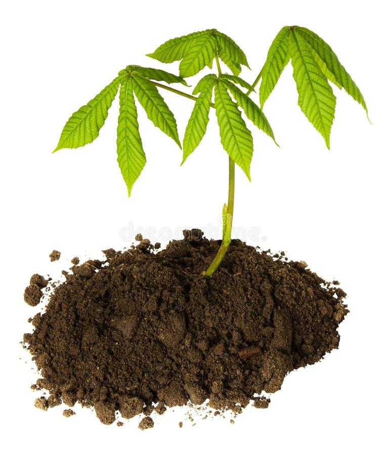 Broto da ?rvore de castanha com as folhas frescas verdes no solo preto isolado no fundo branco Conceito do Dia da Terra e da ecol imagens de stock royalty free
