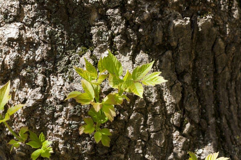 Broto da folha do tronco de árvore imagem de stock