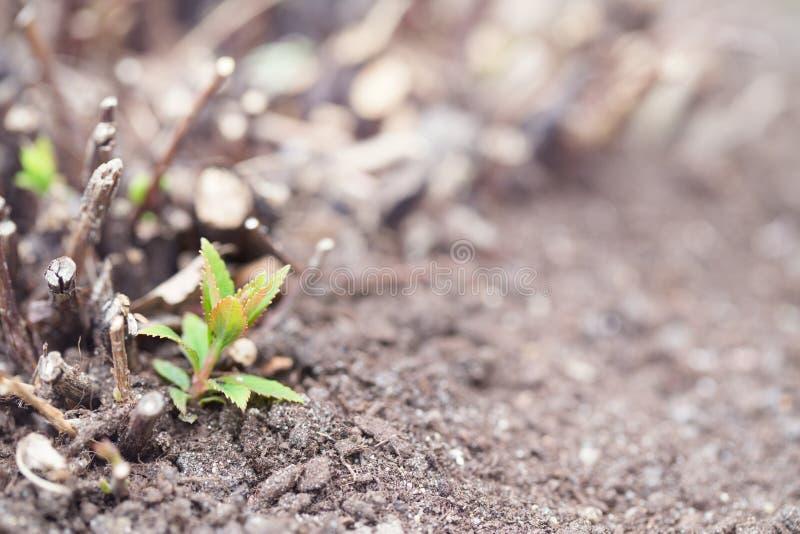 Broto da mola de um arbusto entre o solo cinzento imagens de stock royalty free