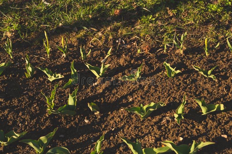 Broto da planta para crescer na terra planta da agricultura que cresce na fileira da cama Crescimento de colheitas colheitas de a fotos de stock