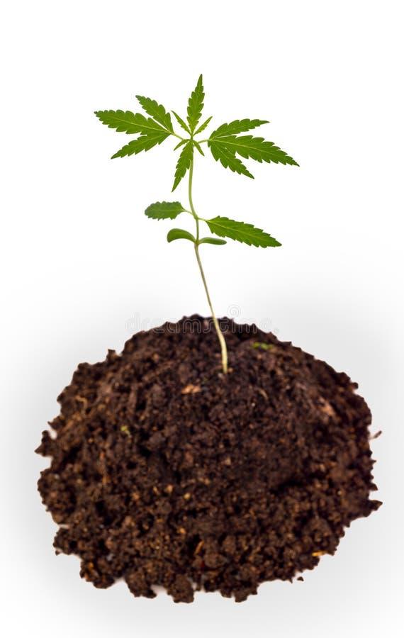 Broto das plântulas do cannabis que cresce do solo imagem de stock royalty free
