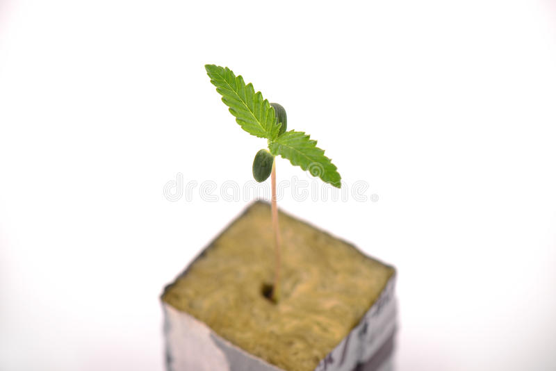 Broto do cannabis em um cubo com as primeiras duas folhas que crescem, iso foto de stock royalty free
