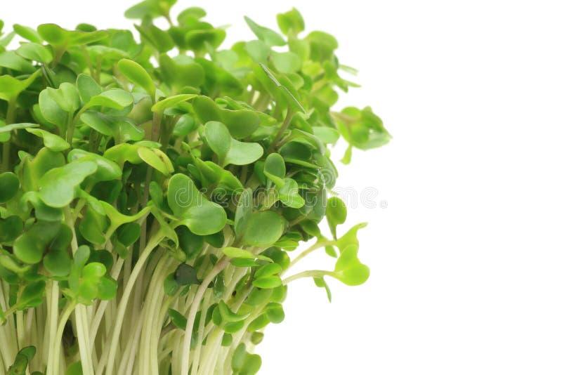Broto dos brócolis imagens de stock