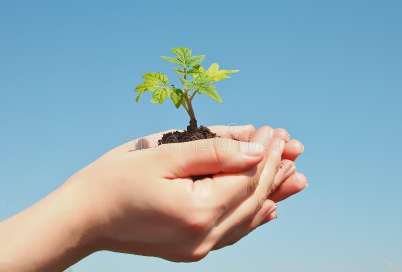 Broto fêmea da terra arrendada da mão Conceito do ambiente das economias do Dia da Terra Planta??o crescente da guarda florestal  imagem de stock