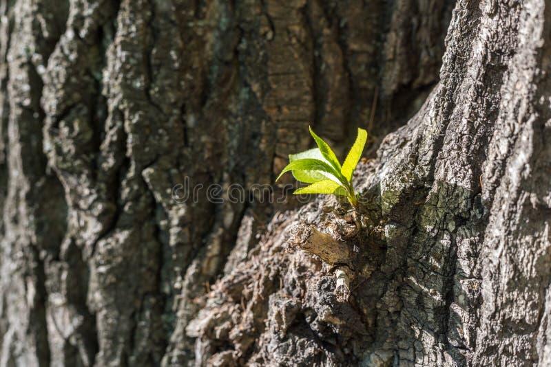 Broto fresco novo que cresce na casca de árvore na primavera foto de stock