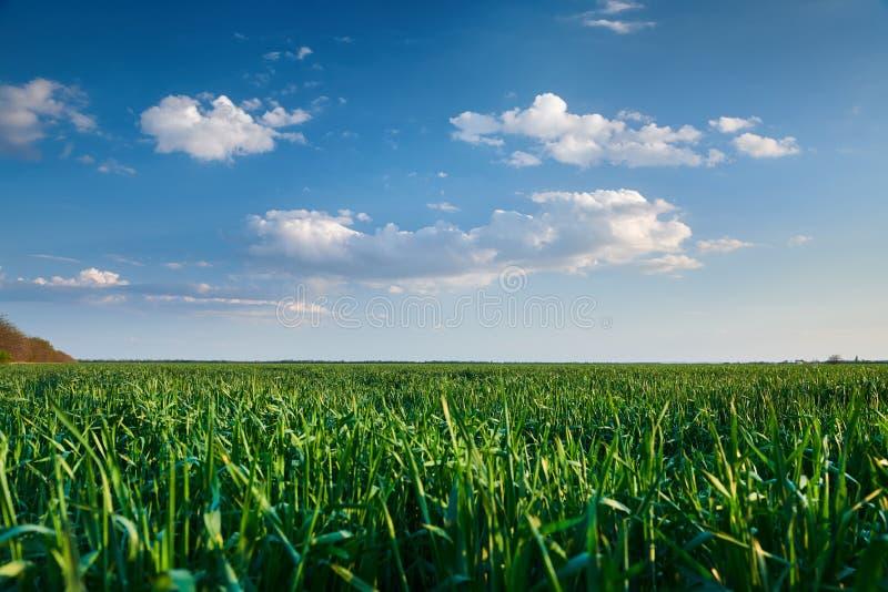 Broto novo do trigo no campo na noite Por do sol bonito com escuro - c?u azul, luz solar brilhante e nuvens foto de stock