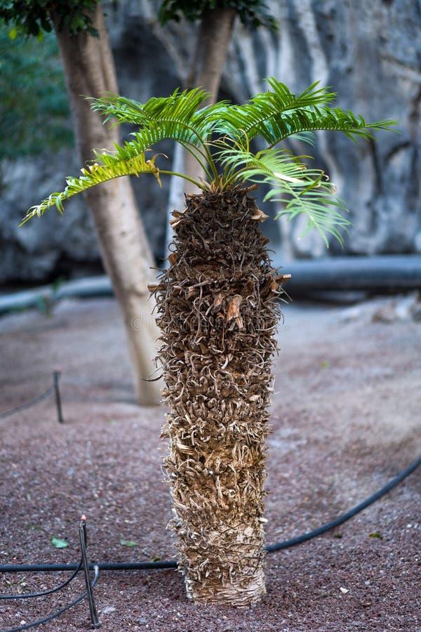 Broto pequeno da palmeira foto de stock