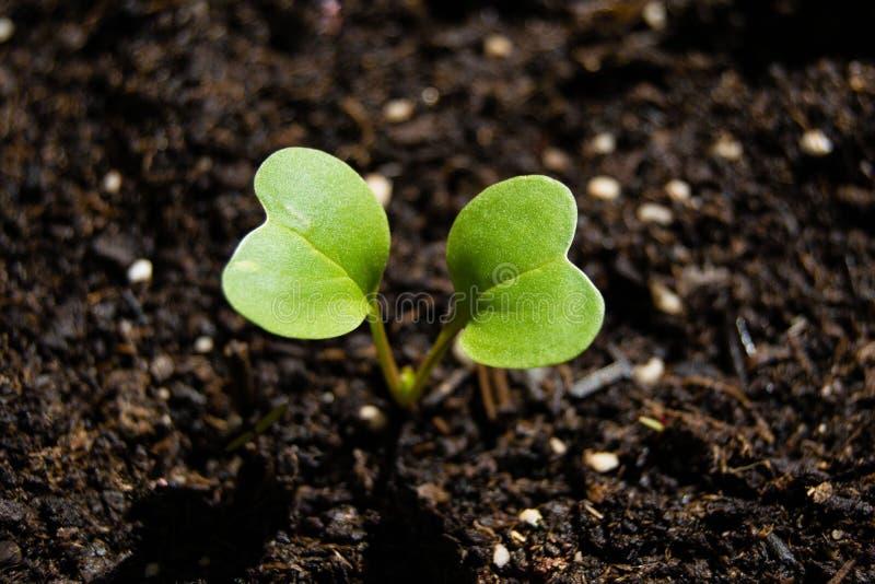 Broto que cresce da terra, planta do rabanete da mola fotos de stock royalty free