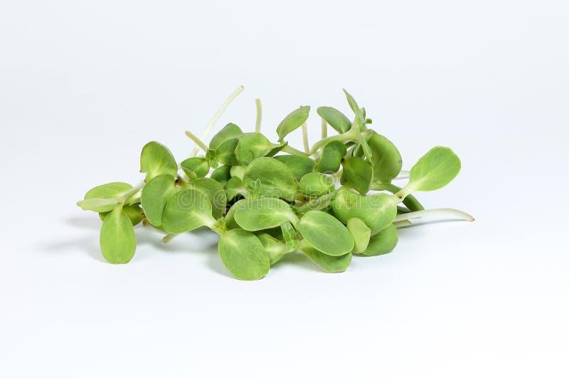 Broto verde do girassol imagens de stock