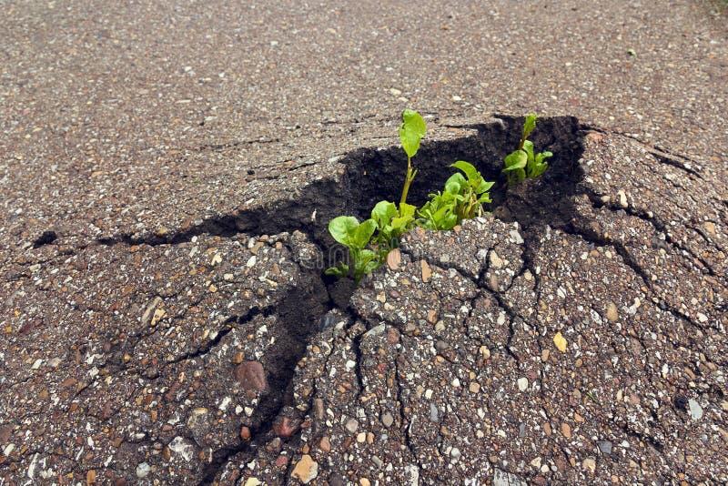 Broto verde que cresce através do asfalto Conceito da ecologia foto de stock