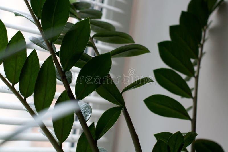 Brotos da planta da gema de Zanzibar imagem de stock