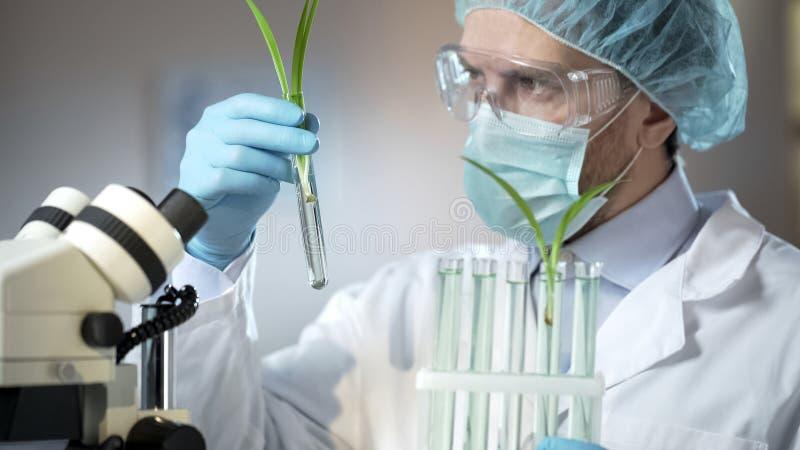 Brotos de exame científicos do técnico de laboratório de cereais artificialmente excretados fotografia de stock